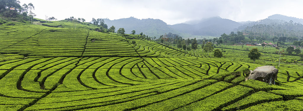 ciwidey attractions tea plantation