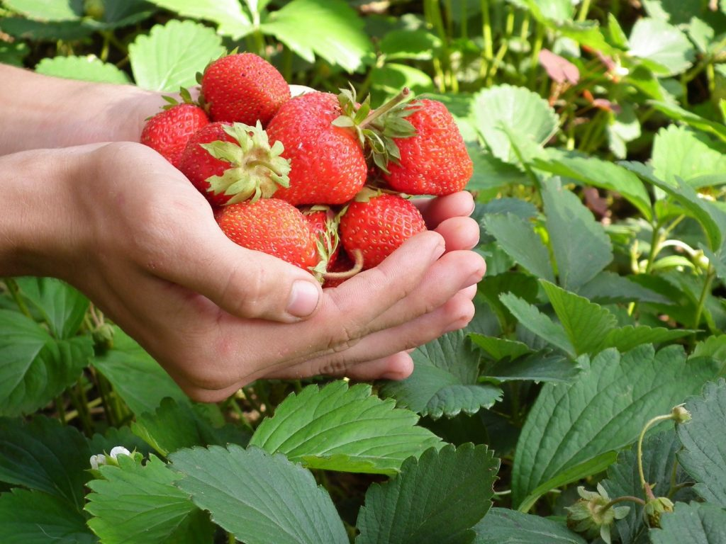things to do in bandung strawberry picking